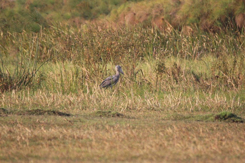 Shoebill Vogel van ver in Bangweulu Swamps, Zambia