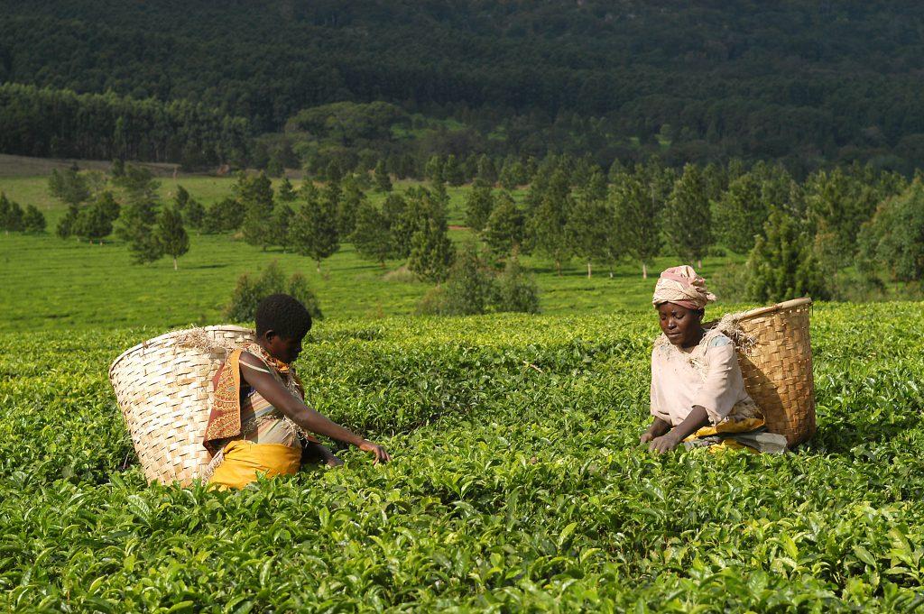 Thee plukkers aan voet Mount Mulanje