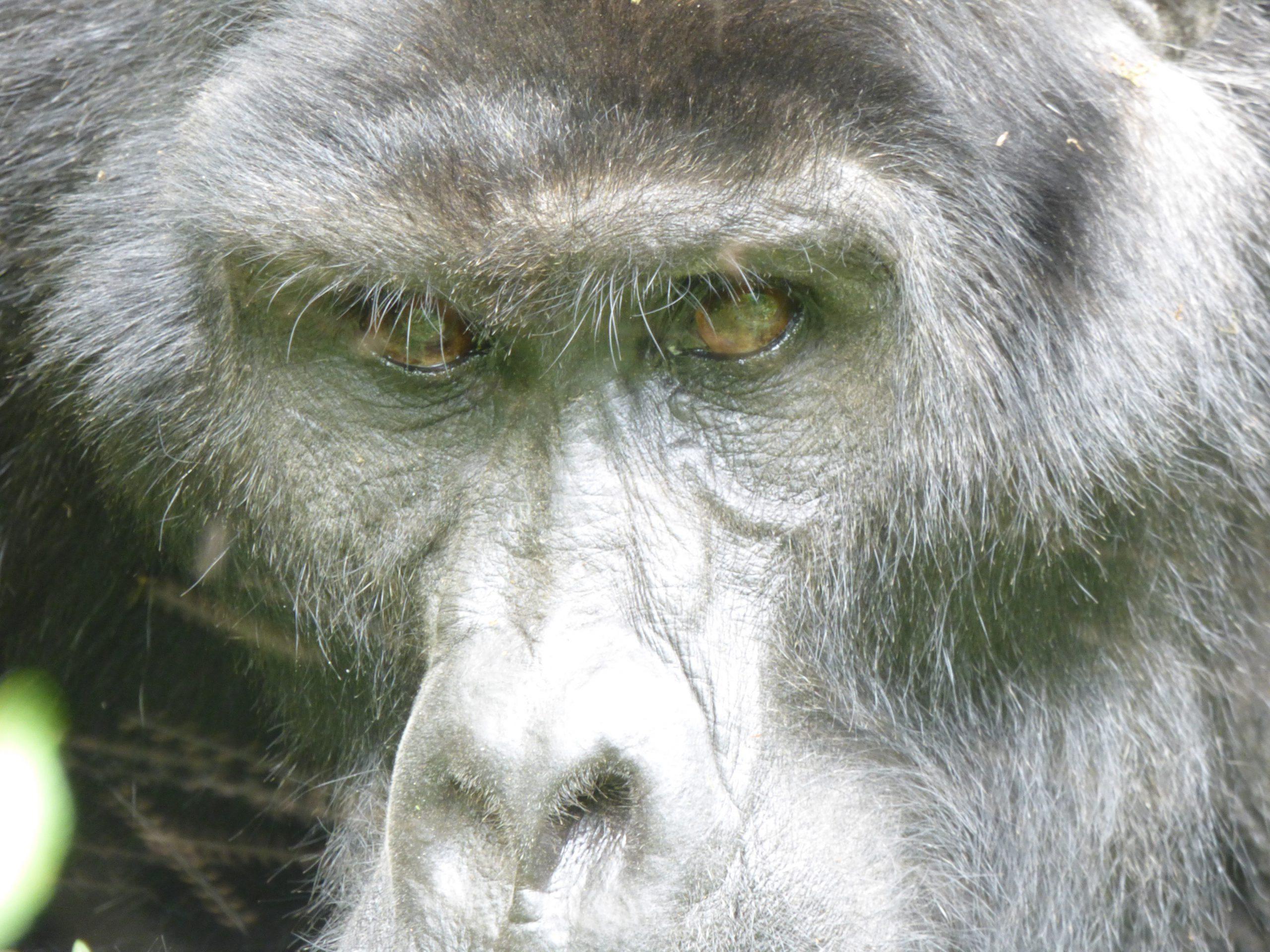 Berggorilla in Bwindi Impenetrable National Park Uganda
