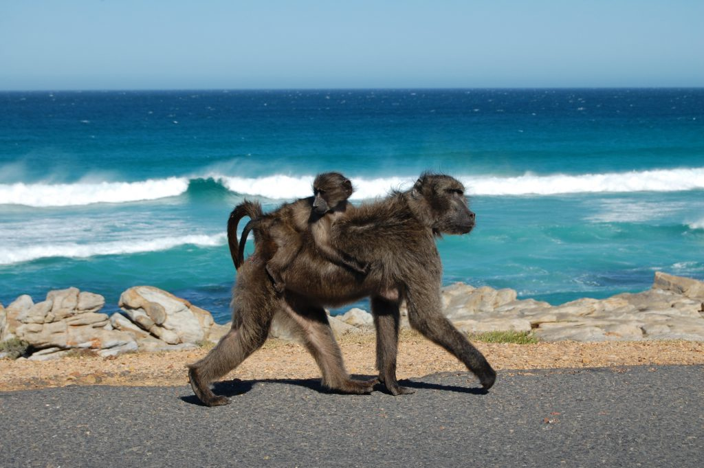Cape of Good Hope, Baboons