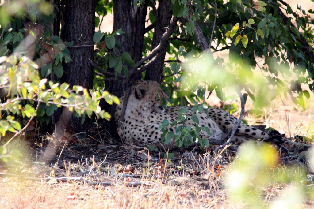 Cheetah in Kruger National Park, Zuid Afrika Safari