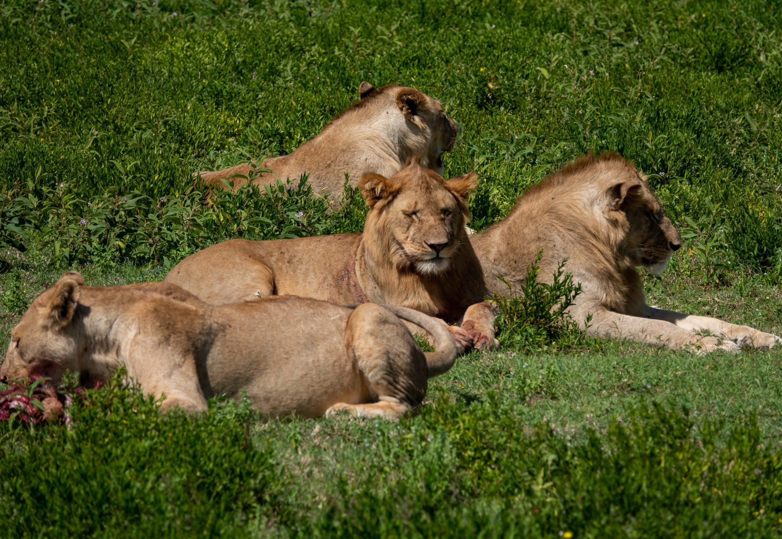 Leeuwen tijdens safari in Tanzania