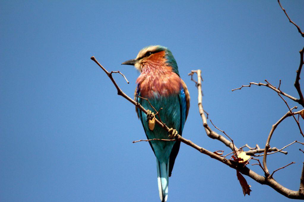 Lilac Breasted Roller, Kruger National Park, Zuid Afrika Safari
