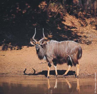 Nyala in Lengwe National Park Malawi