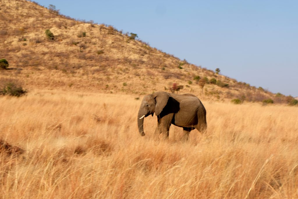 Olifant Pilanesberg National Park, Zuid Afrika Safari