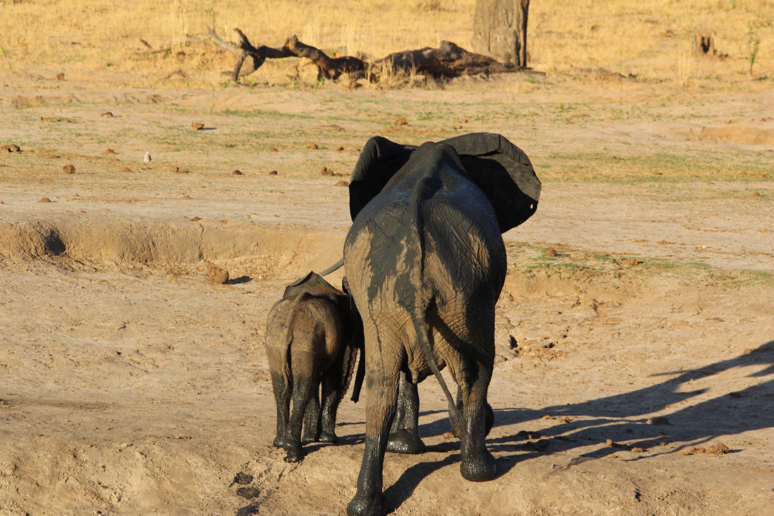 Olifanten in Hwange National Park Zimbabwe