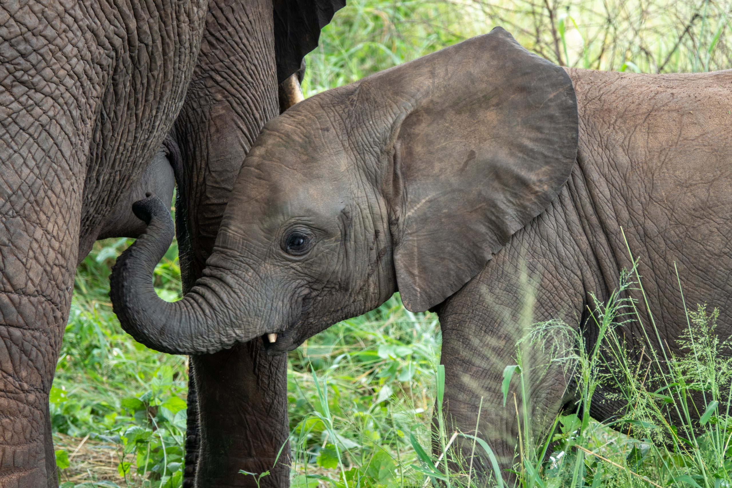 Olifantje tijdens privé safari Tanzania