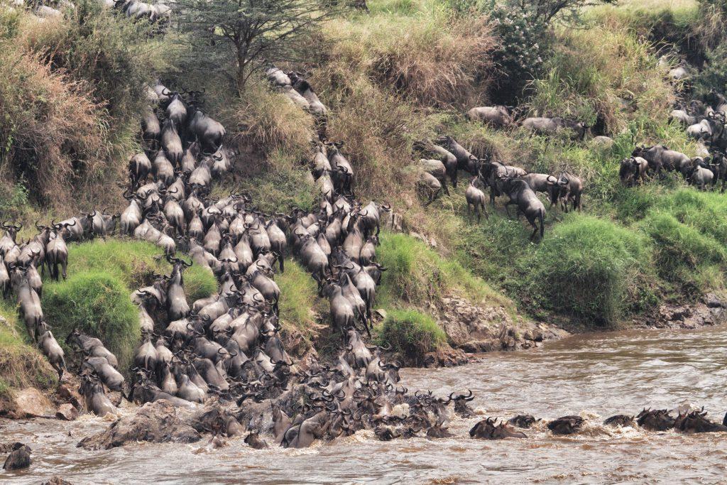 Rivieroversteek Grote Migratie Serengeti National Park Tanzania