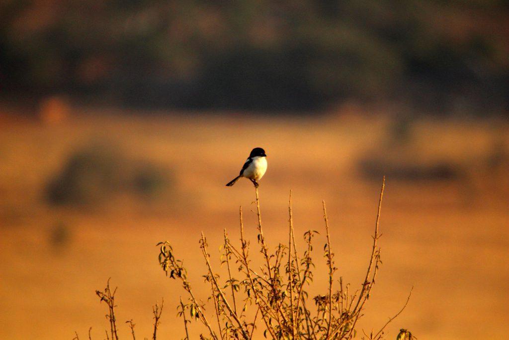 Southern Boubou, Zuid Afrika Safari