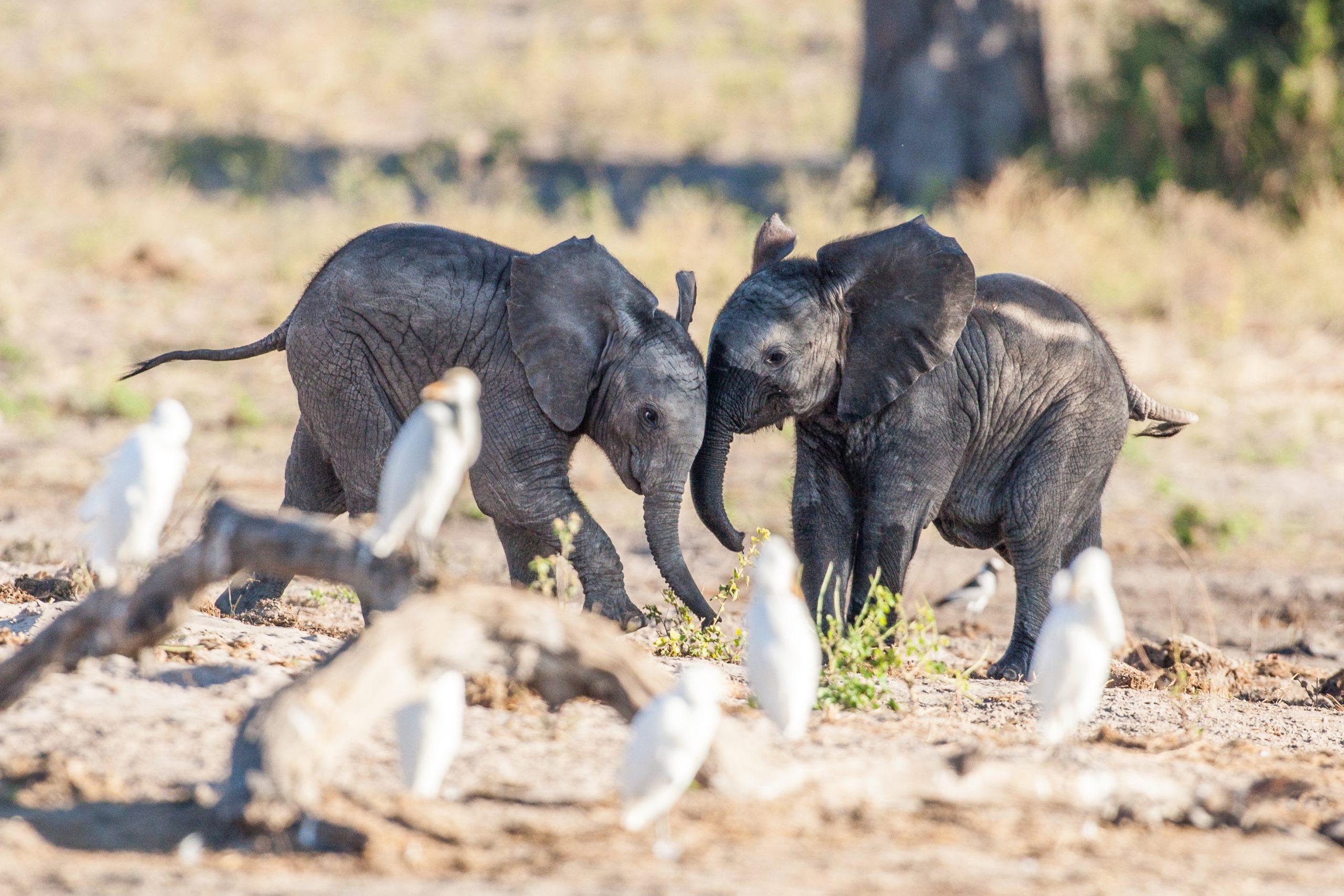 Baby Olifantjes in Chobe National Park, Botswana