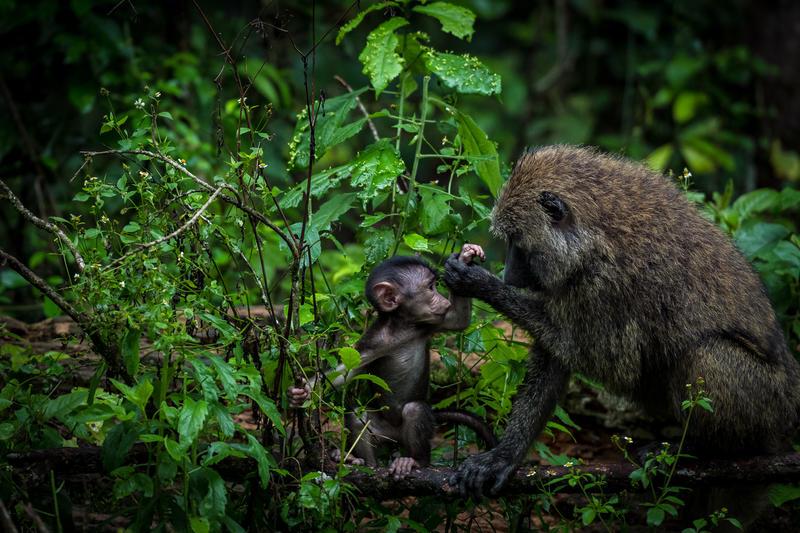 Bavianen bij Crater Safari Lodge Uganda
