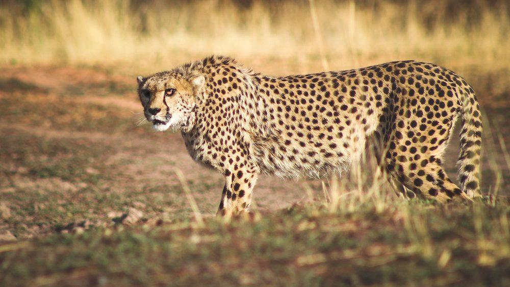 Cheetah bij Africat Foundation Namibië (@Africat Foundation)