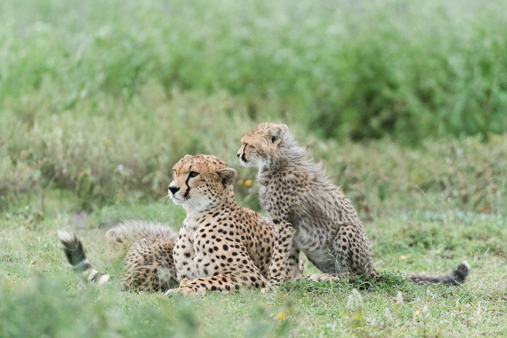 Cheetahs tijdens fotosafari in Serengeti National Park Tanzania