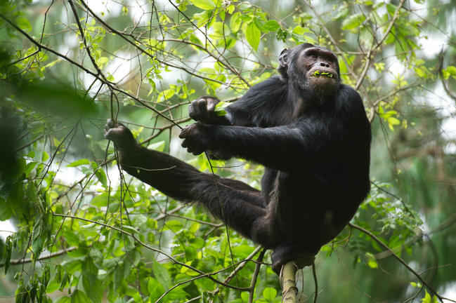 Chimpansee in Nyungwe Forest National Park Rwanda