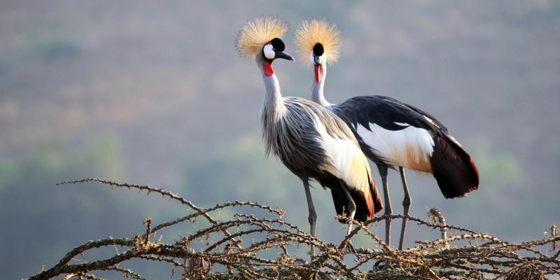 Crowned kraanvogels bij Lake Mburo National Park Uganda