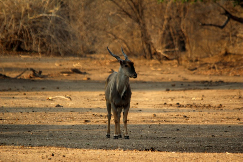 Eland in Mana Pools, Zimbabwe