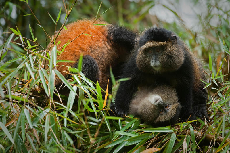 Golden Monkeys in Volcanoes National Park Rwanda