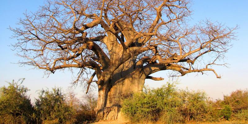 Grote Baobabs in Mahango National Park Namibië