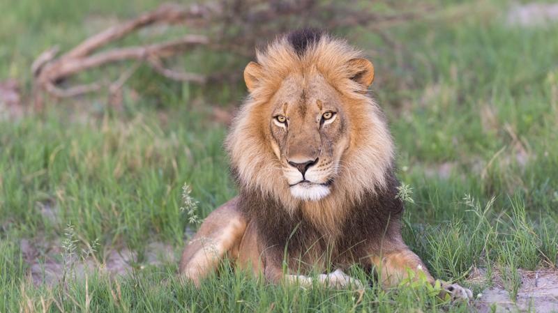 Leeuw in Hwange National Park in Zimbabwe
