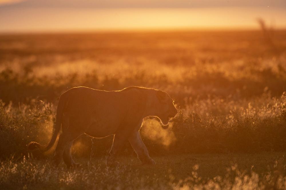 Leeuw tijdens fotosafari in Serengeti National Park Tanzania