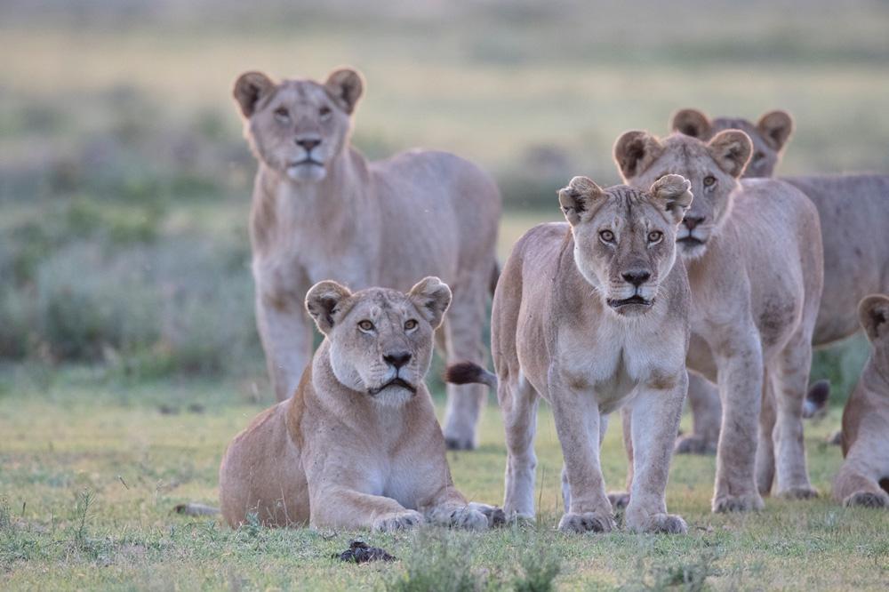 Leeuwen tijdens fotosafari in Serengeti National Park Tanzania