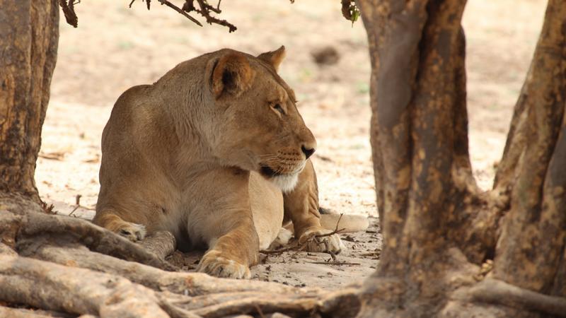 Leeuwin bij Chobe Riverfront Botswana