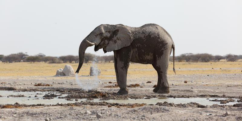 Olifant bij waterhole in Nxai Pan National Park Botswana