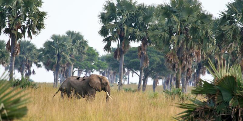Olifant met lifters in Murchison Falls National Park Uganda