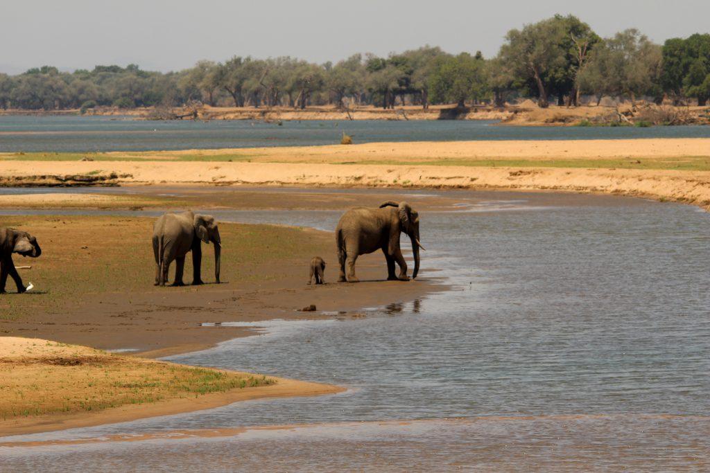Olifanten aan Zambezi, Mana Pools NP, Zimbabwe