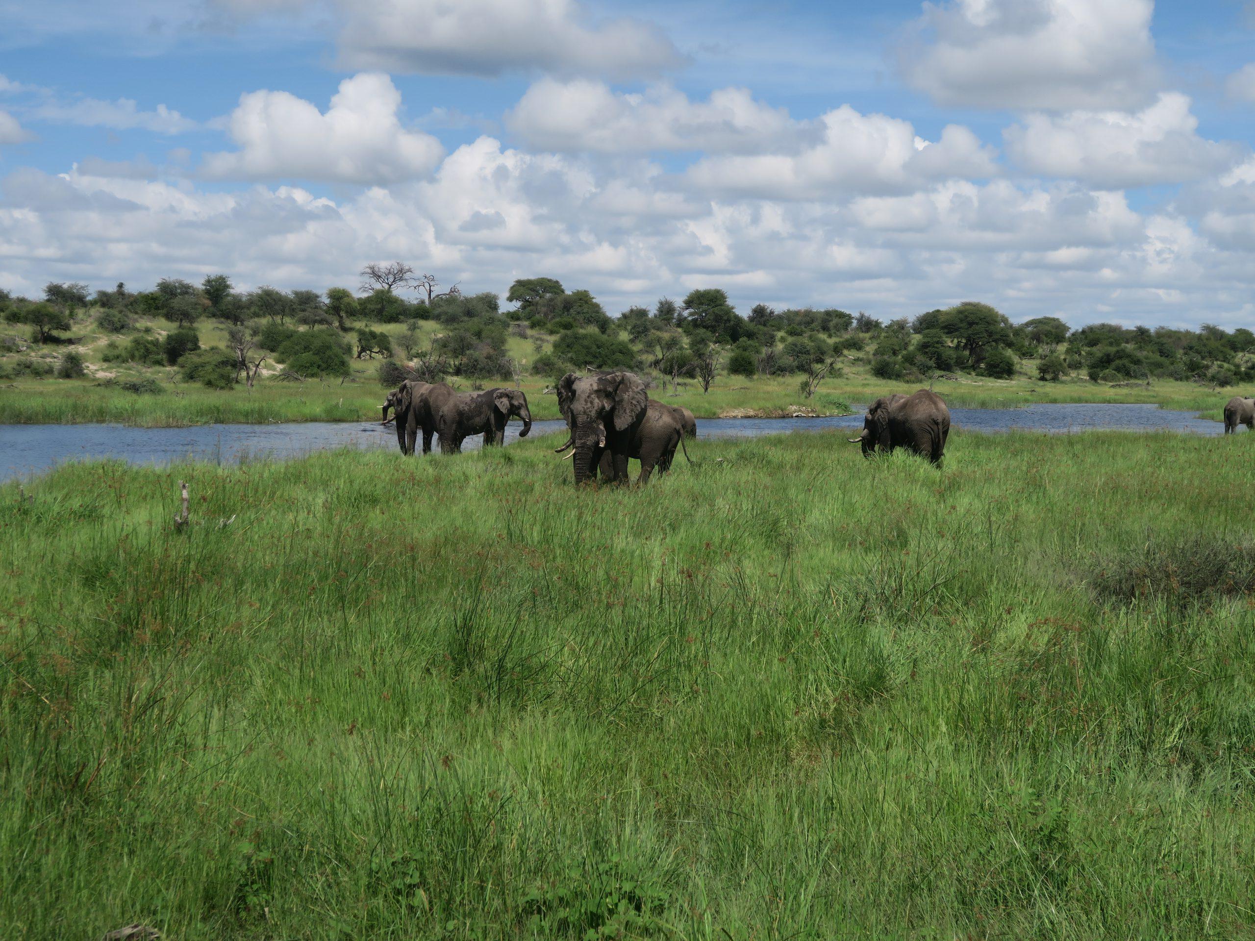 Olifanten in Boteti rivier Botswana