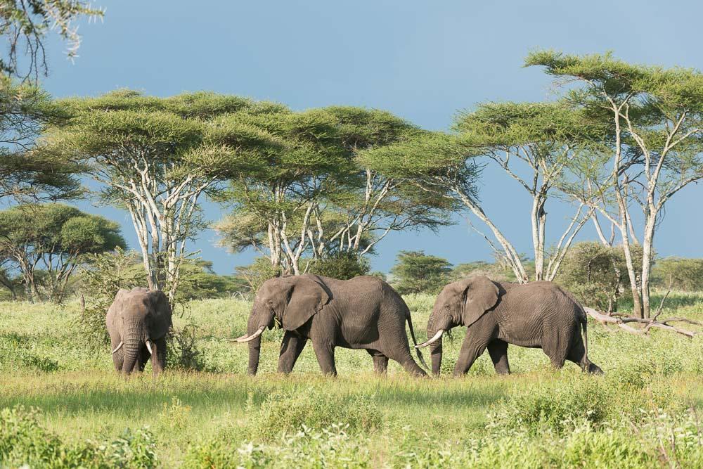 Olifanten tijdens fotosafari in Serengeti National Park Tanzania
