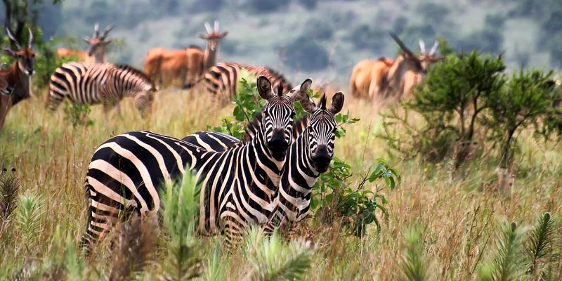 Zebra's in Akagera National Park Rwanda