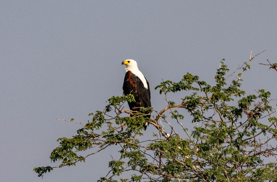 African Fish Eagle op over Zambezi rivier in Zimbabwe
