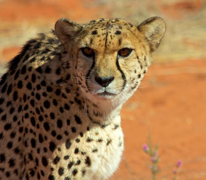Cheetah bij Bagatelle Game Ranch Namibië (@Bagatelle)