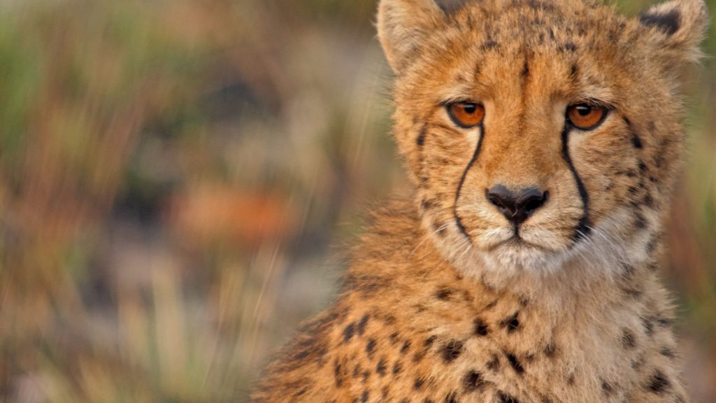 Cheetah op Busanga Plains Zambia