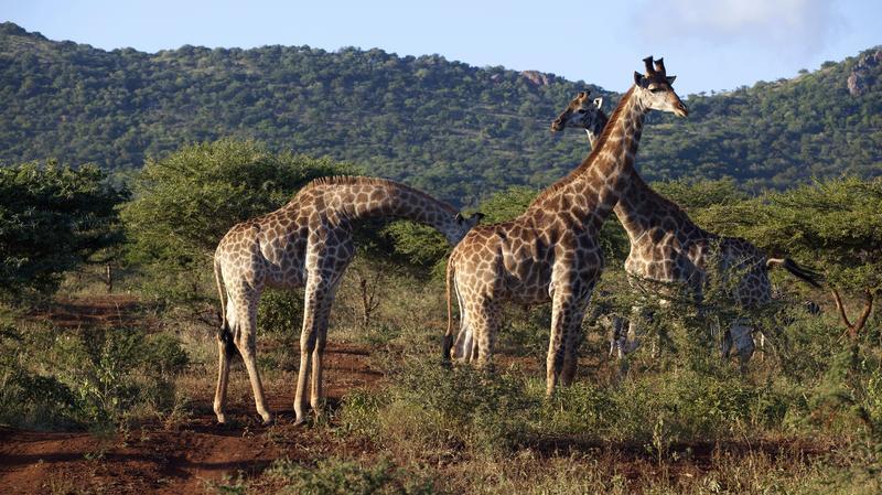Giraffen in Hluhluwe iMfolozi Park Zuid-Afrika
