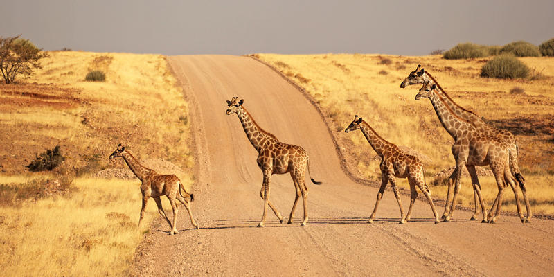 Giraffen in Palmwag concessie Namibië