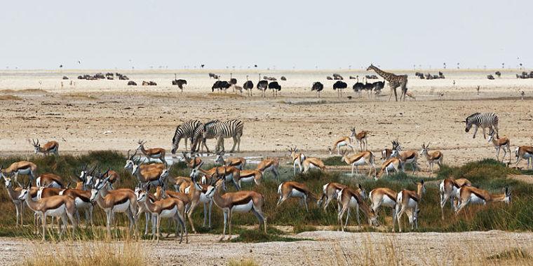 Grote variatie wilde dieren in Etosha National Park Namibië