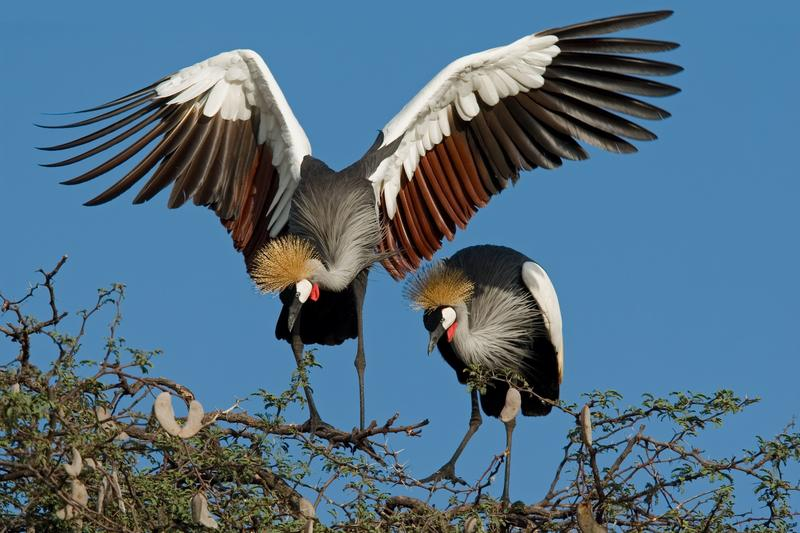 Kraanvogels in Hwange National Park Zimbabwe