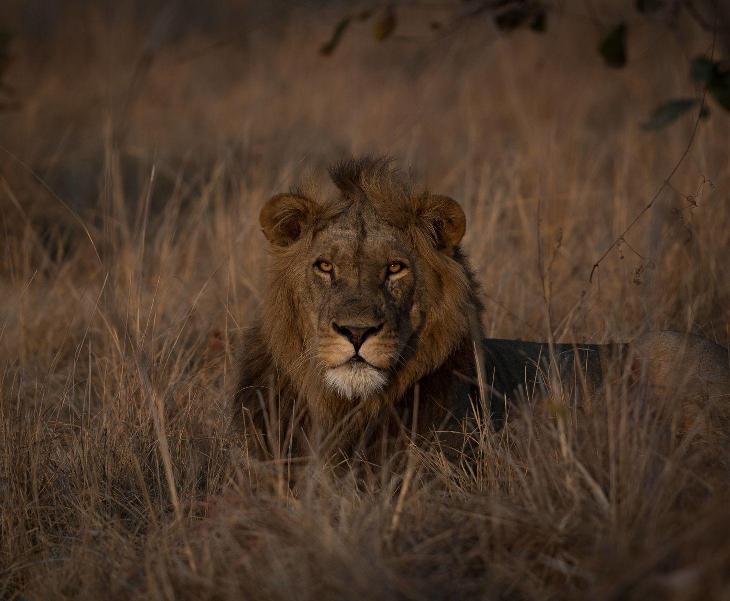 Leeuw op Busanga Plains Zambia