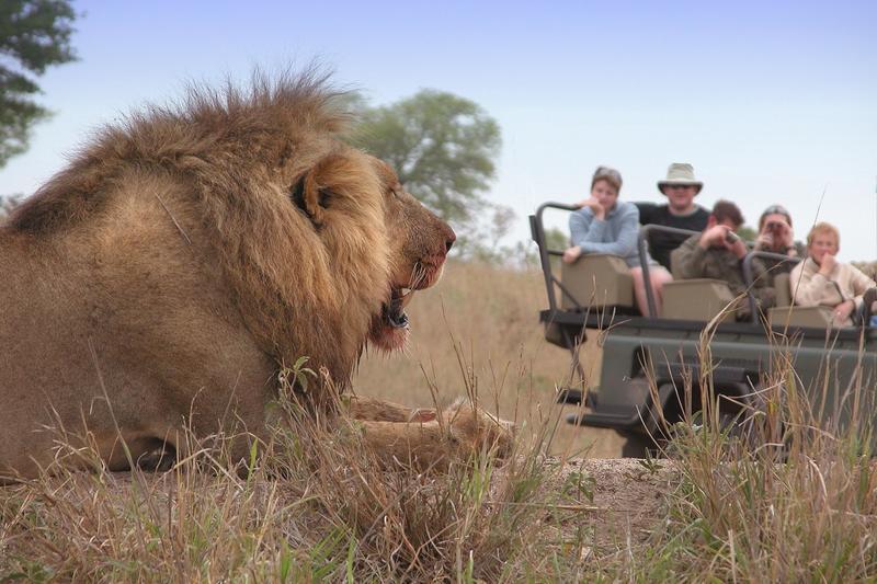 Leeuw tijdens game drive in Sabi Sand Private Game Reserve Zuid-Afrika