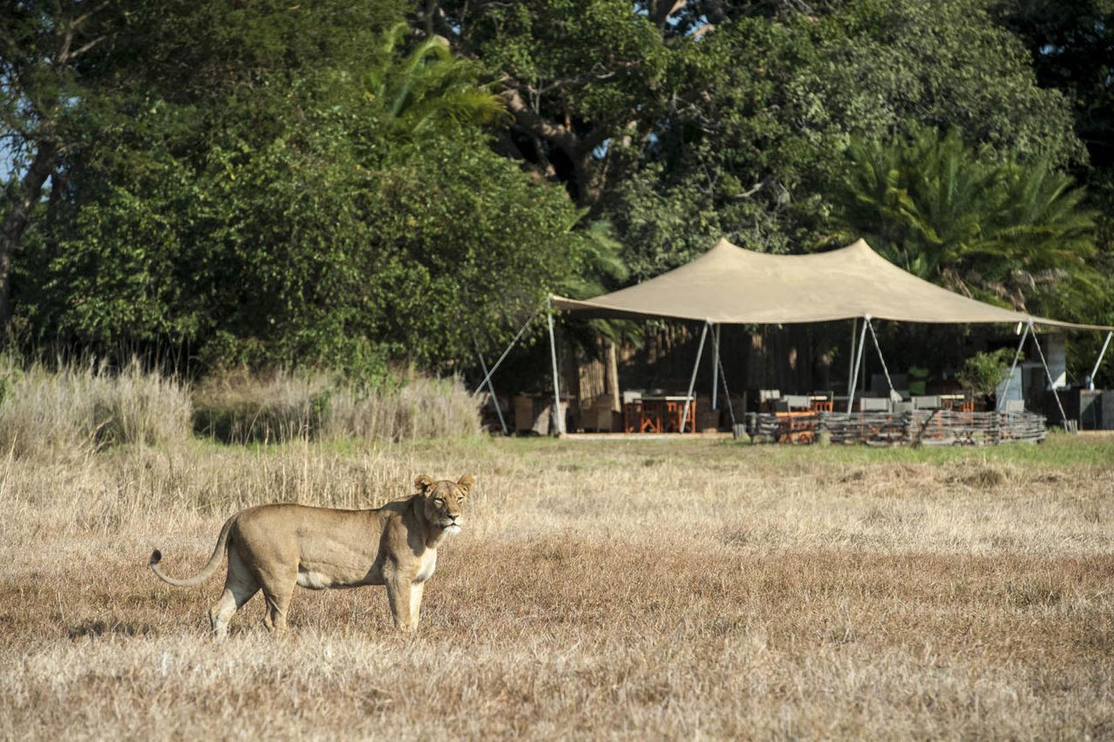 Leeuwin voor Busanga Bush Camp Zambia