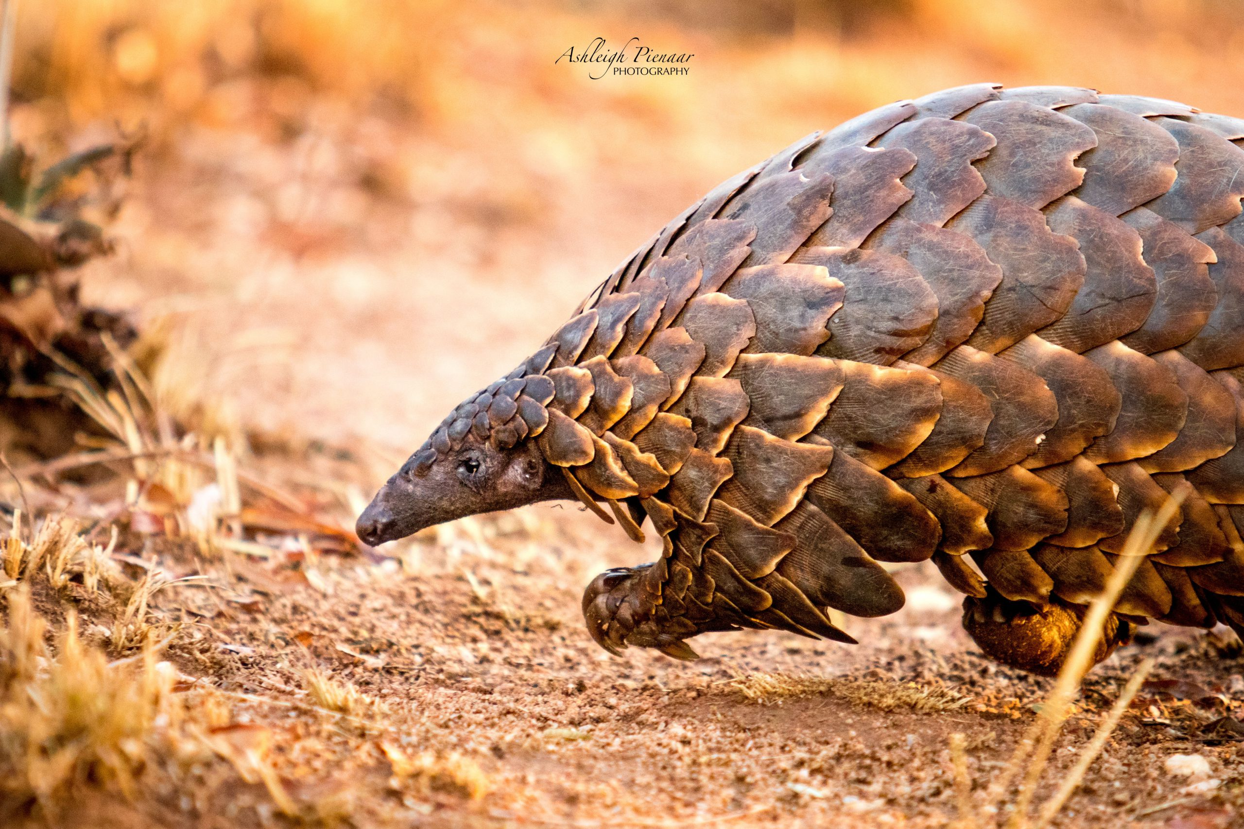 Lopende Pangolin - @visions_through_the_viewfinder Johannesburg Wildlife Vet