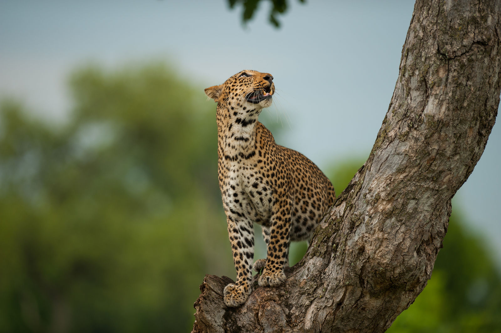 Luipaard in Kafue National Park Zambia
