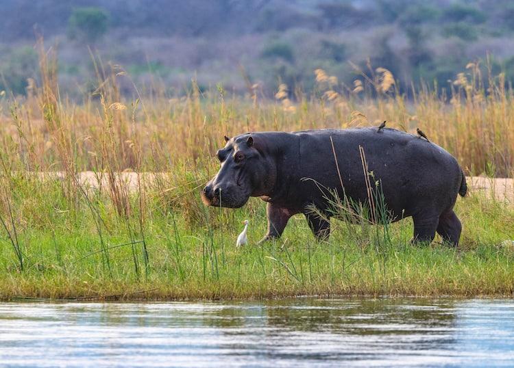 Nijlpaard op over Zambezi rivier Zimbabwe