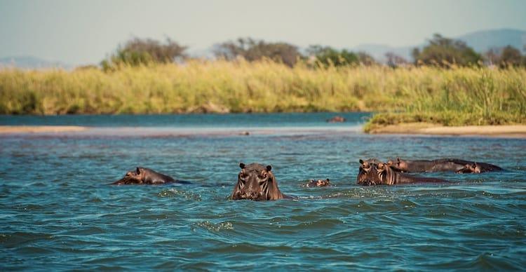 Nijlpaarden in Zambezi rivier Zimbabwe