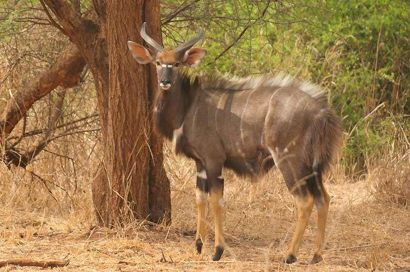 Nyala in Gonarezhou National Park Zimbabwe