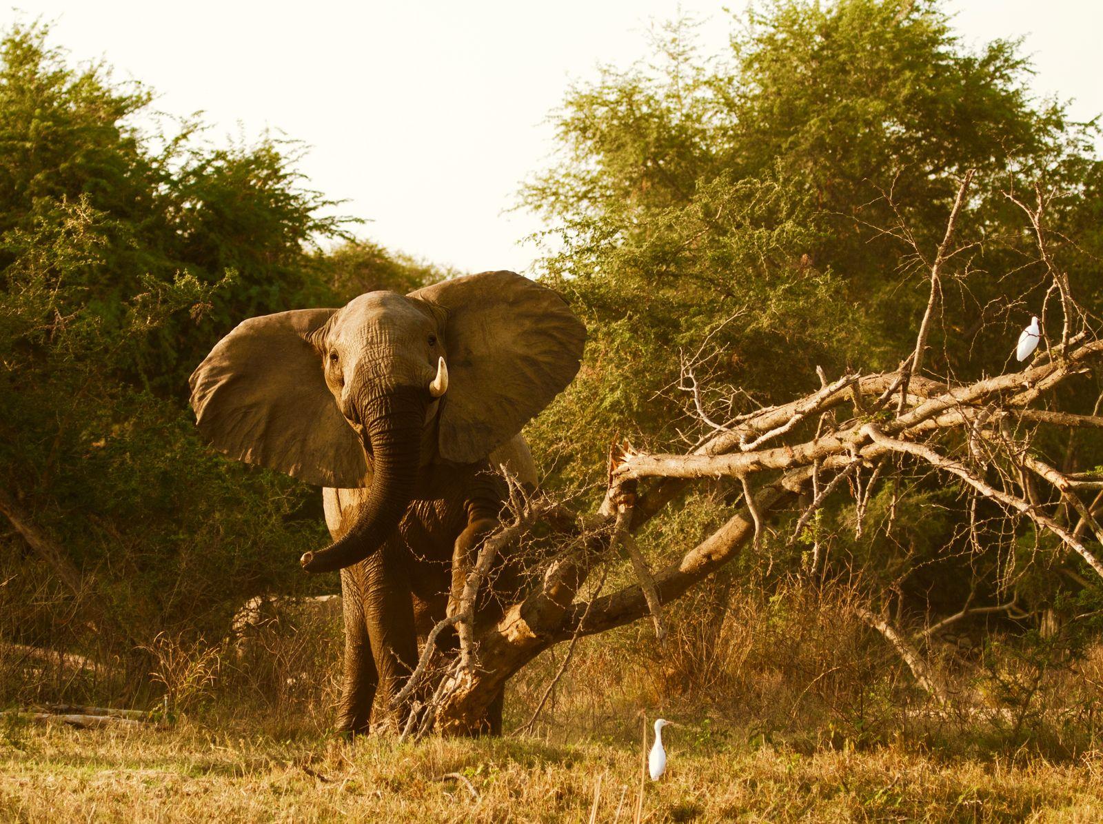 Olifant in Lower Zambezi National Park Zambia