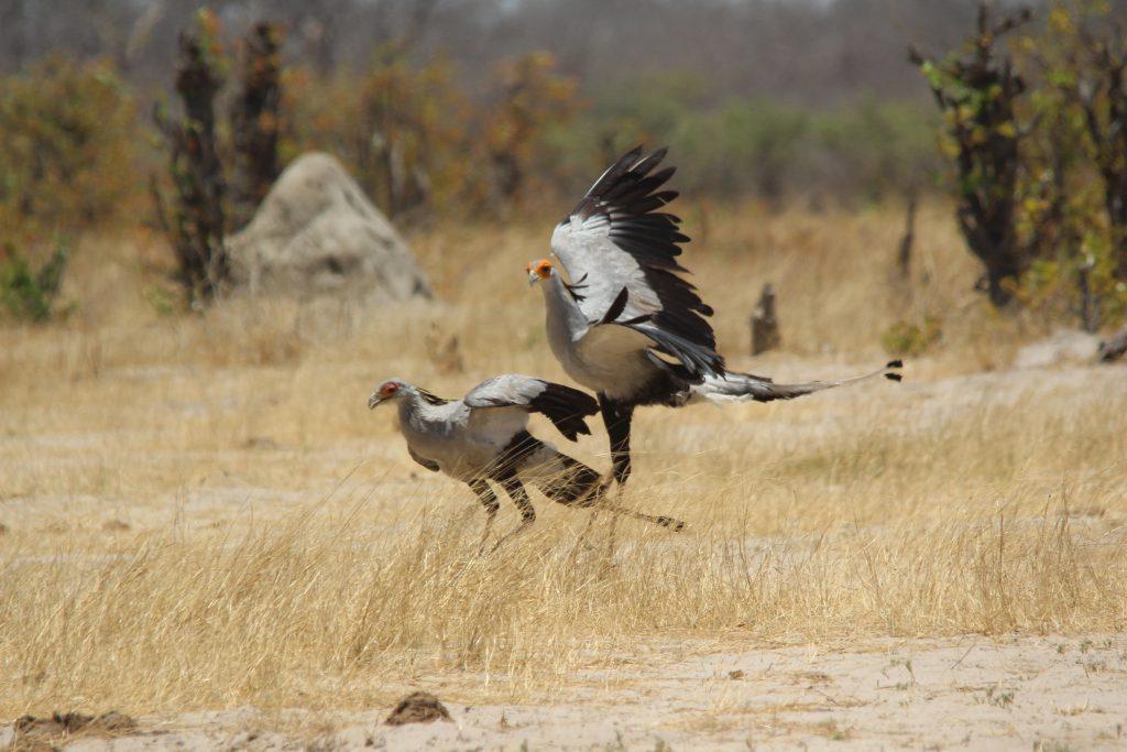 Secretary Birds in Hwange National Park Zimbabwe