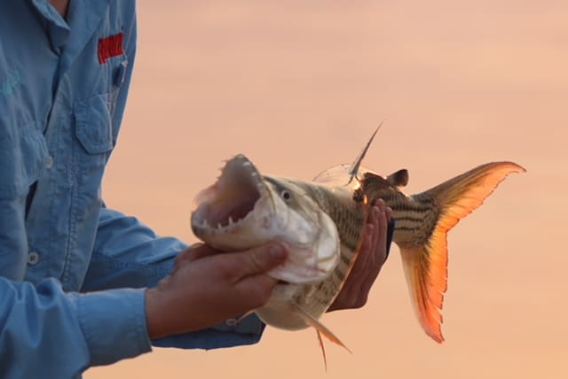 Tijger vis in Zambezi rivier Zimbabwe